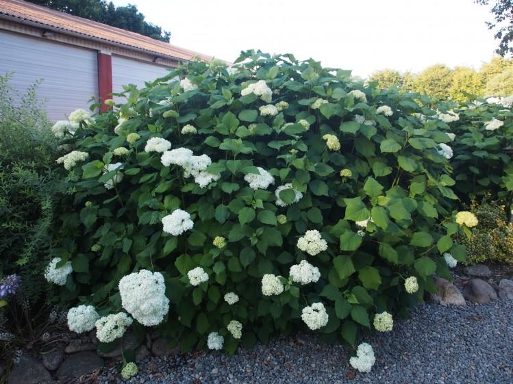 store buske til haven